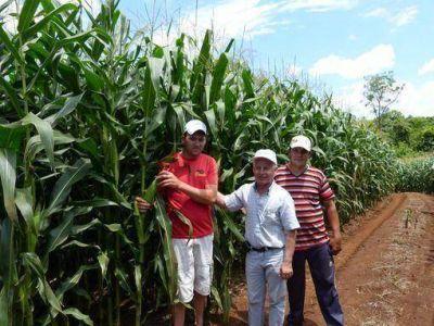 Crece el cultivo de maíz en Misiones