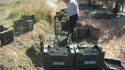La cosecha olivícola de este año será 50 % menor que la campaña 2013