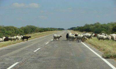 El Gobierno trabaja en multas para propietarios que dejen sus animales sueltos en las rutas