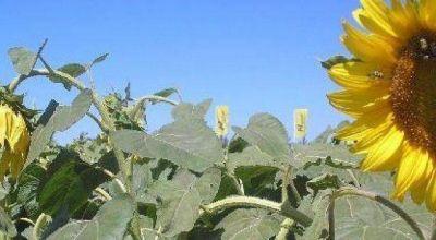 Chaco sembró apenas 152 mil de hectáreas de girasol