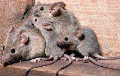�Hay zonas de la ciudad que est�n llenas de ratas�