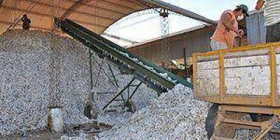 El Gobierno estableció pagar $4000 la tonelada de algodón