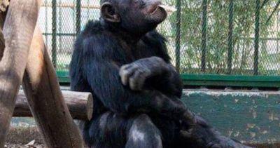 Reclamarán por el chimpancé Toti en fiesta de Cipolletti