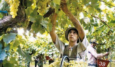 Viñateros preocupados por un tope para la compra de uva