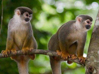 Martes, 25 de marzo de 2014 Hallaron a dos de las tres monas que drogaron y robaron del zoo