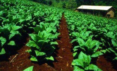 Piden que productores y empresas tabacaleras acuerden un precio racional para el tabaco