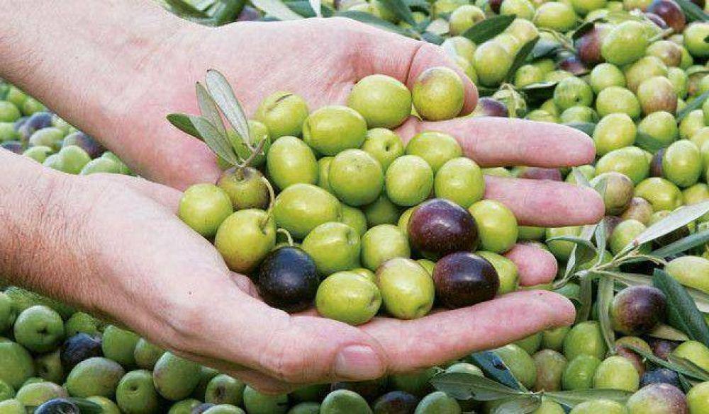 Saldo más que negativo luego de la cosecha de aceitunas para conserva