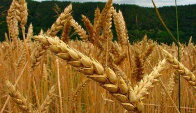 Productores pidieron liberar la exportación de trigo