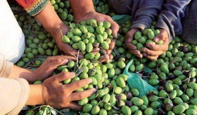 Por la falta de fríos la cosecha de aceitunas viene atrasada 2 semanas