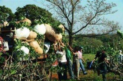 Yerba mate: avanza la cosecha en zona productora