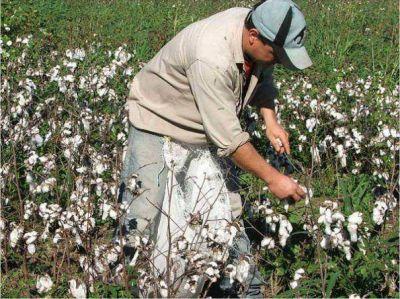 Preocupa atraso en la cosecha de algodón por las lluvias