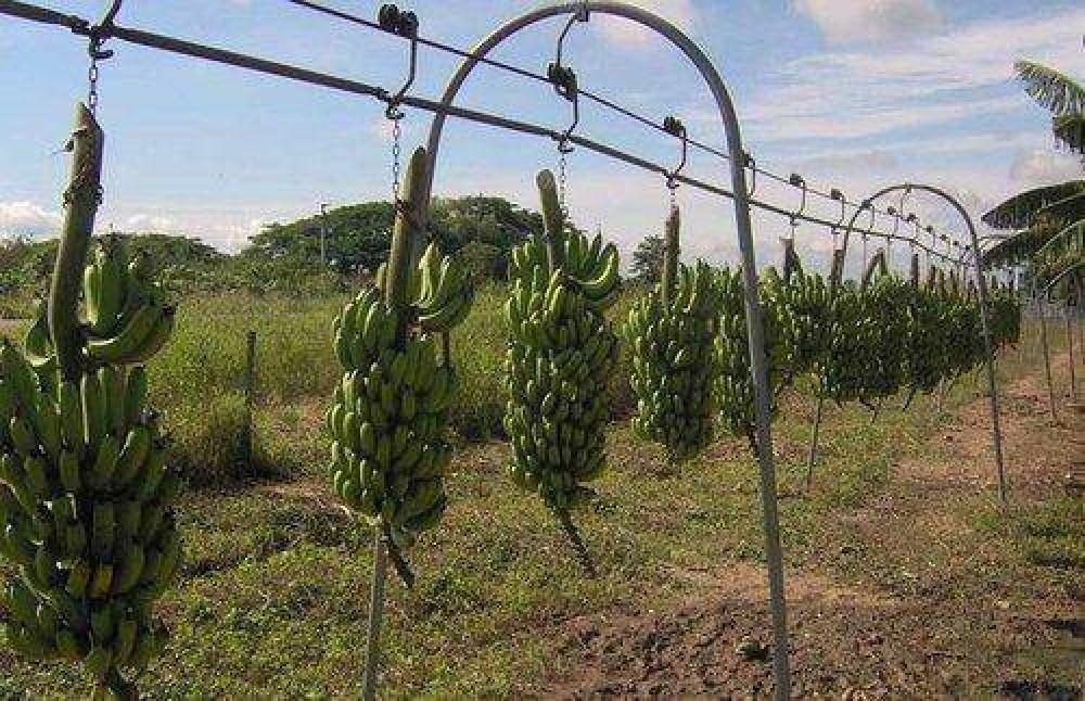 Piden protección para la producción de banana