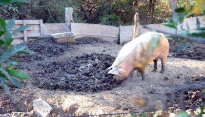 Clausuran criadero clandestino con 40 cerdos con triquina