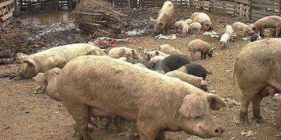 Detectaron dos casos de triquinosis en cerdos en nuestra ciudad