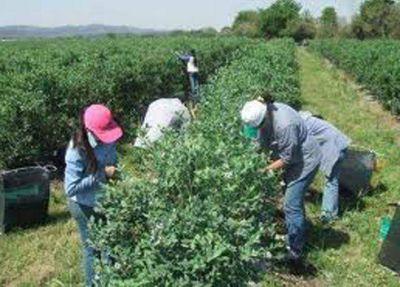 CONTROLAN LAS PLANTACIONES DE ARANDANO EN LA REGIÓN