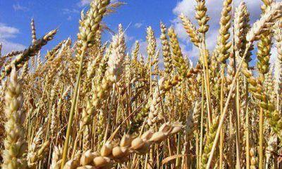 Estiman fuerte incremento en la producci�n de trigo en la provincia