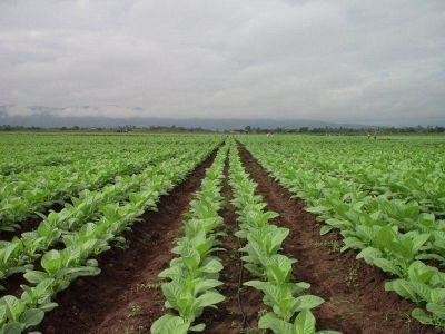 Avanza la campaña tabacalera en Jujuy