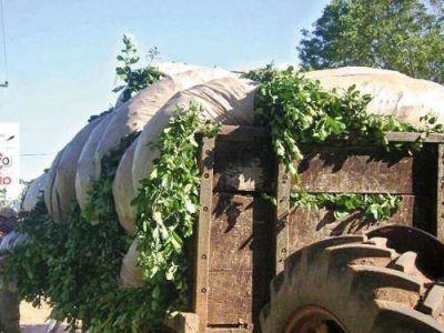 Yerba mate: la Secretar�a de Agricultura fij� en 3,95 el kilo de hoja verde y 14,60 el de canchada