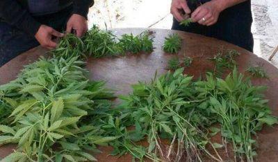 Encuentran plantación de marihuana en un descampado de Albardón