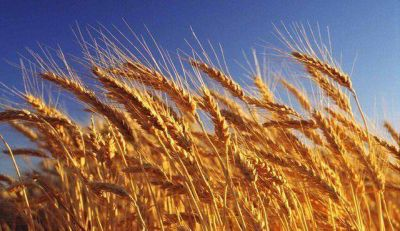 El trigo tresarroyense otra vez es el mejor del país