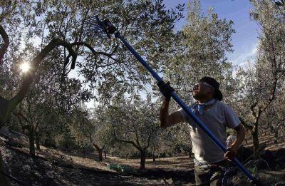 Olivicultura: en conflicto salarial, avalar�an cr�ditos con producci�n
