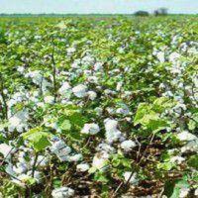 Entrar o no entrar al campo: Clave para garantizar la calidad de la fibra de algodón