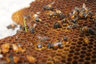 Est� prohibida la cr�a de abejas en Posadas