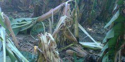 Dañan plantación de bananas en la zona de Naineck