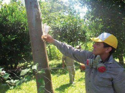 Se registraron más de 150 denuncias por orugas tóxicas en San Ignacio