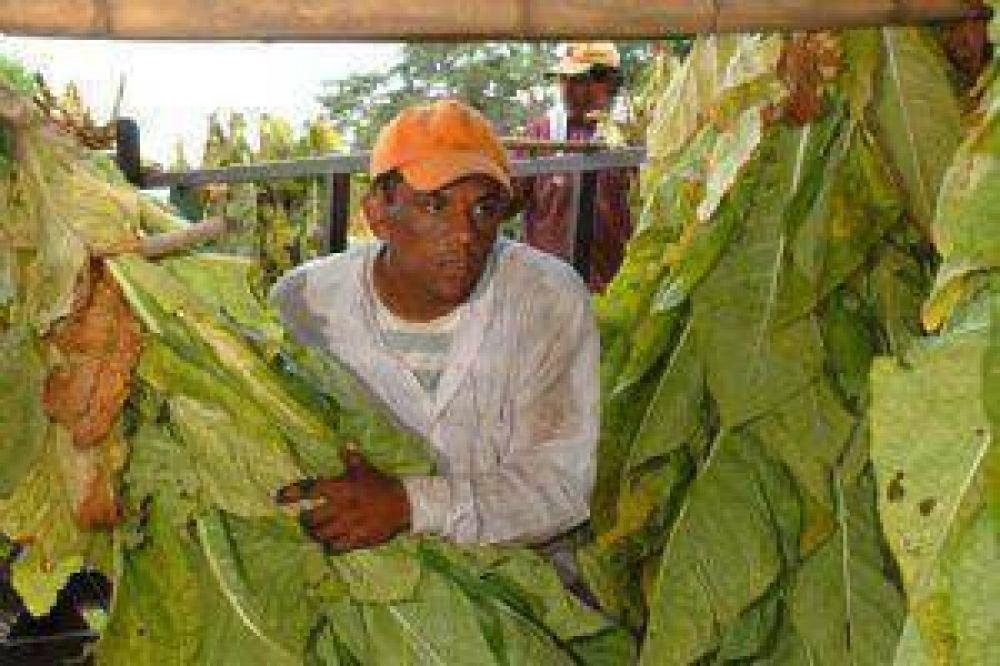 Estiman que se perderá la mitad de la producción tabacalera