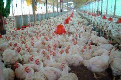 La avicultura, en la encrucijada para alcanzar mejor rentabilidad