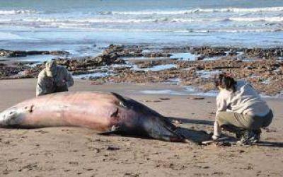 Encontraron una ballena muerta en la Reserva Monte-Pehuen Co