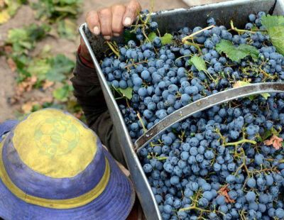 Investigan a bodegas y viñateros por irregular ingreso de las uvas