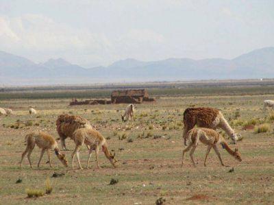Avanza el manejo sustentable de la vicuña en silvestría