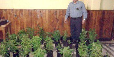 Polic�a descubre mudanza de plantas de marihuana