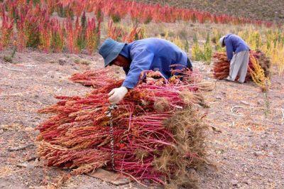 Productores salteños remarcaron la necesidad de industrializar el cultivo de la quinua