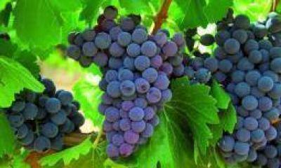 "CARPA tildó de ""calamitosa"" la vendimia 2015 en La Rioja"