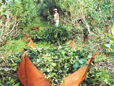 La cosecha de yerba subió 37% en los 4 primeros meses del año
