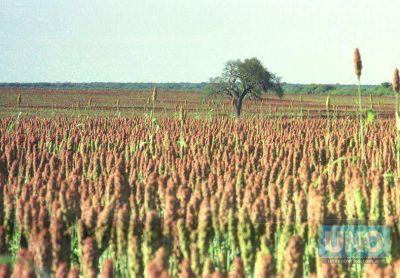 Se produjo una nueva caída en la producción de sorgo en la provincia