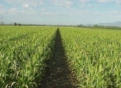 Se sembró el 90 por ciento de maíz de primera proyectado para este año