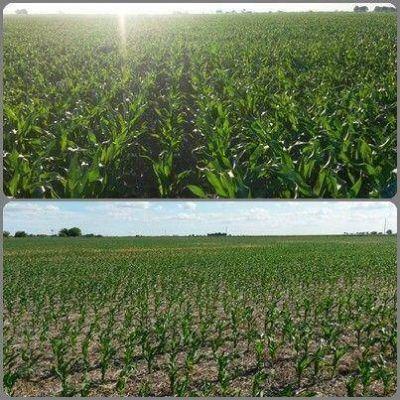 Presenta buenas condiciones el 98 por ciento del maíz de primera sembrado en la provincia