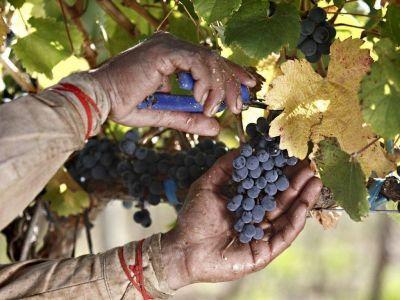 Cosecha de uvas 2016 estará bajo el promedio histórico