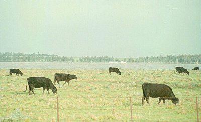 Un año de transición para la ganadería bovina