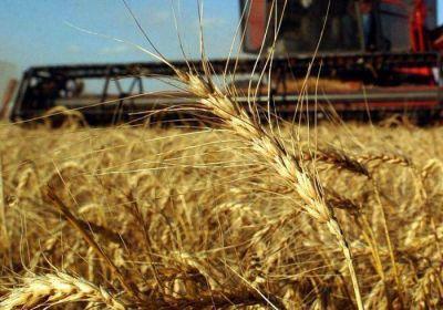 Baj� casi un 30 por ciento la producci�n de trigo en la provincia