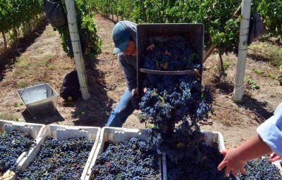 Según el INV, se estima una cosecha menor para Mendoza