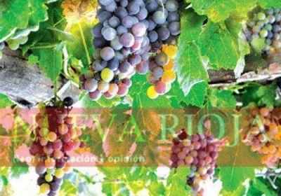 Imponen restricciones al ingreso de uva de Cuyo
