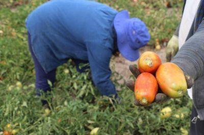 Se perdieron 15 millones de kilos de tomates