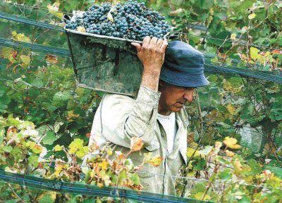 Fecovita paga cinco pesos el kilo de uva tinta, el doble que en 2015
