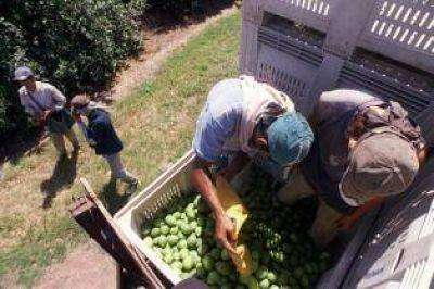 Comenzó la cosecha de limones en las quintas de la provincia