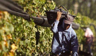 San Juan ya cosech� m�s de 270 millones de kilos de uva